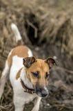 Κυνηγώντας τεριέ αλεπούδων σκυλιών, που αποκτάται από την τρύπα στον ποταμό στοκ φωτογραφίες