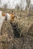 Κυνηγώντας τεριέ αλεπούδων σκυλιών που εξετάζει την τρύπα αλεπούδων στοκ φωτογραφία με δικαίωμα ελεύθερης χρήσης