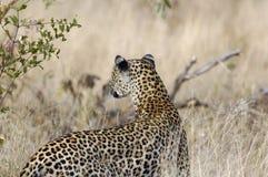 κυνηγώντας leopard Στοκ Φωτογραφίες