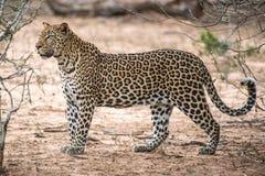 κυνηγώντας leopard στοκ φωτογραφία με δικαίωμα ελεύθερης χρήσης