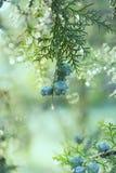 Κυπαρίσσι της Αριζόνα που καλύπτεται με τη δροσιά στοκ εικόνες