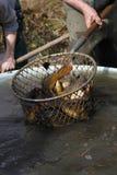 Κυπρίνοι που πιάνονται στο δίχτυ Στοκ φωτογραφία με δικαίωμα ελεύθερης χρήσης