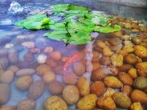 Κυπρίνος ή κόκκινα ψάρια koi στη λίμνη Στοκ Εικόνες