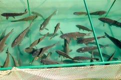 Κυπρίνος σε ένα αγρόκτημα ψαριών στοκ φωτογραφία