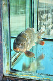 Κυπρίνος στη δεξαμενή ψαριών Στοκ εικόνα με δικαίωμα ελεύθερης χρήσης