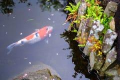 Κυπρίνος στο νερό Στοκ Φωτογραφίες