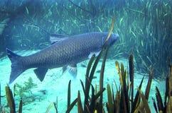 Κυπρίνος χλόης - λίμνη μύλων Merritts Στοκ φωτογραφία με δικαίωμα ελεύθερης χρήσης