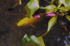 κυπρίνος Στοκ φωτογραφία με δικαίωμα ελεύθερης χρήσης