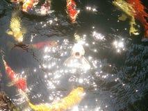 κυπρίνος Στοκ φωτογραφίες με δικαίωμα ελεύθερης χρήσης