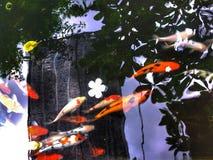 Κυπρίνος Koi Στοκ Φωτογραφίες