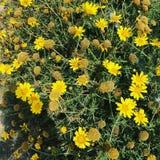 Κυπριακά κίτρινα λουλούδια στοκ εικόνες