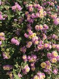 Κυπριακά ρόδινα λουλούδια στοκ εικόνες