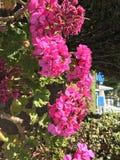 Κυπριακά ρόδινα λουλούδια στοκ φωτογραφία