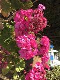 Κυπριακά ρόδινα λουλούδια στοκ φωτογραφία με δικαίωμα ελεύθερης χρήσης