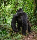 Κυρίαρχος αρσενικός γορίλλας βουνών στο τροπικό δάσος Ουγκάντα Αδιαπέραστο δασικό εθνικό πάρκο Bwindi Στοκ Φωτογραφίες