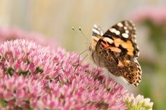 κυρία πεταλούδων που χρωματίζεται Στοκ Εικόνα