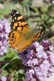 κυρία πεταλούδων που χρ&ome Στοκ εικόνα με δικαίωμα ελεύθερης χρήσης