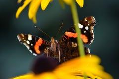 κυρία πεταλούδων που χρωματίζεται Στοκ Φωτογραφίες