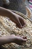 Κυρία που ταξινομεί με το χέρι μέσω Argan των καρυδιών που γίνονται στο πετρέλαιο για τα τρόφιμα ή την καλλυντική χρήση - κλείστε Στοκ Εικόνες