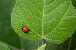 Κυρία Bug Στοκ Εικόνες