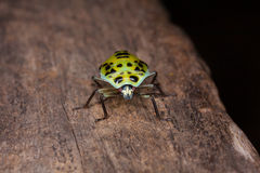 Κυρία Bug Στοκ Φωτογραφία