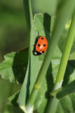 Κυρία Bug Στοκ Εικόνα
