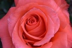 Κυρία Rose 01 Στοκ Εικόνα