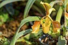 Κυρία Slipper Orchid Στοκ Εικόνες