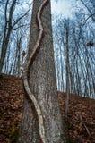 Κυρτή μυστηριώδης άμπελος που αναρριχείται στο δέντρο στο δάσος Στοκ εικόνες με δικαίωμα ελεύθερης χρήσης