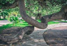 Κυρτοί κορμοί ενός κωνοφόρου δέντρου στο πάρκο Στοκ φωτογραφία με δικαίωμα ελεύθερης χρήσης