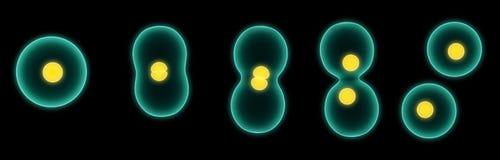 κυτταροδιαίρεση Στοκ εικόνα με δικαίωμα ελεύθερης χρήσης