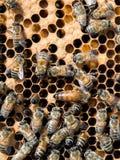 Κυψέλη της δραστηριότητας - εργαζόμενοι και μέλισσα βασίλισσας μέσα στην κυψέλη Στοκ Φωτογραφίες
