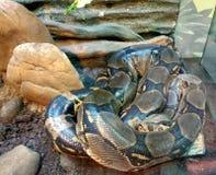 Κυλημένο επάνω φίδι Στοκ Εικόνες