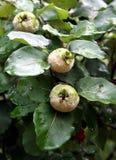 κυδώνι oblonga cydonia Στοκ εικόνες με δικαίωμα ελεύθερης χρήσης