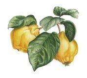 Κυδώνι Watercolor στοκ φωτογραφία με δικαίωμα ελεύθερης χρήσης