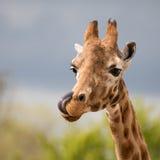 Κωμικό giraffe με τη γλώσσα του έξω Στοκ εικόνα με δικαίωμα ελεύθερης χρήσης