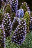 Κωνικά μπλε και πορφυρά λουλούδια Monterey Καλιφόρνια Στοκ Εικόνα