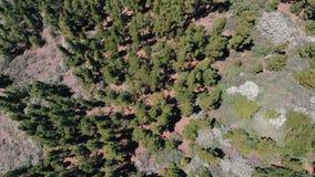 Κωνοφόρα, αειθαλή δέντρα που αυξάνονται από το νεκρό ηφαιστειακό έδαφος, εθνικό πάρκο Teide, Tenerife _ απόθεμα βίντεο