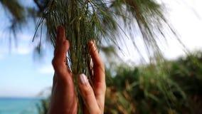 Κωνοφόρα δέντρα και αγαπημένος απόθεμα βίντεο