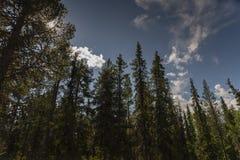 Κωνοφόρα και μπλε ουρανοί Nordlan στο Lapland στοκ εικόνα