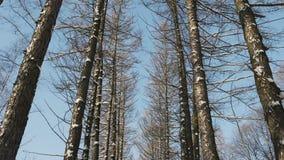 Κωνοφόρα στη χειμερινή ανάπτυξη υπό μορφή αλέας φιλμ μικρού μήκους