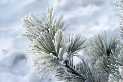 Κωνοφόροι κλάδοι που καλύπτονται με το πεύκο, τον πάγο και το χιόνι hoarfrost Στοκ Εικόνες