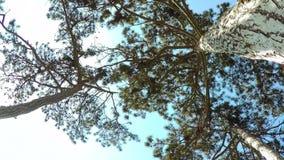 Κωνοφόρο δάσος φιλμ μικρού μήκους