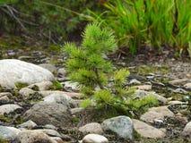 Κωνοφόρο δάσος Στοκ Φωτογραφία