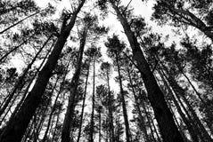 Κωνοφόρο δάσος Στοκ φωτογραφίες με δικαίωμα ελεύθερης χρήσης