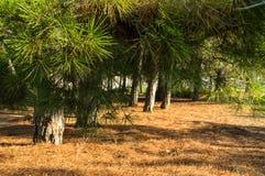 Κωνοφόρο δάσος - πράσινα πεύκα με τις πεσμένες καφετιές βελόνες Στοκ Φωτογραφίες