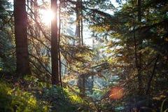 Κωνοφόρο δάσος στην αυγή Στοκ εικόνα με δικαίωμα ελεύθερης χρήσης