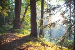 Κωνοφόρο δάσος στην αυγή Στοκ φωτογραφίες με δικαίωμα ελεύθερης χρήσης