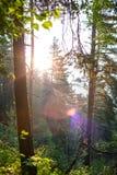 Κωνοφόρο δάσος στην αυγή Στοκ Φωτογραφίες