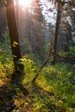 Κωνοφόρο δάσος στην αυγή Στοκ Εικόνα